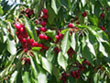 Tart Cherries On Cherry Tree