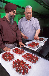 A chemist and a professor examine and weigh cherries: Click here for full photo caption.